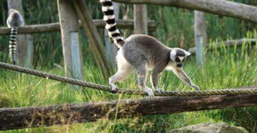 lemur en parque